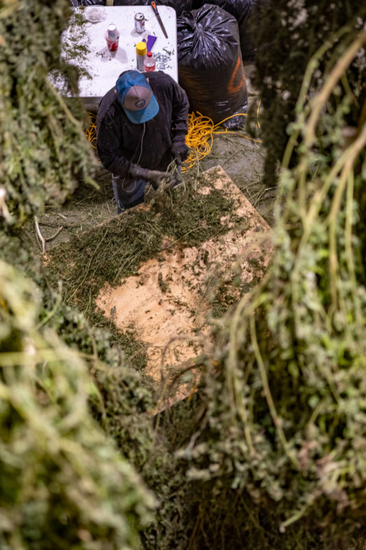 Trimming process for hemp harvesting