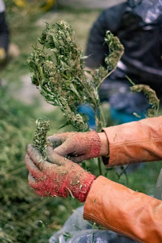 Hand separating hemp flower plants