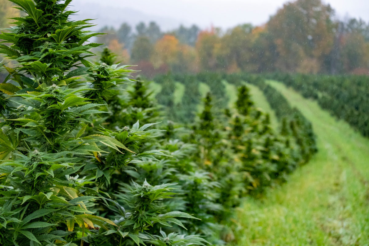 Beauty shot of rows of hemp plants