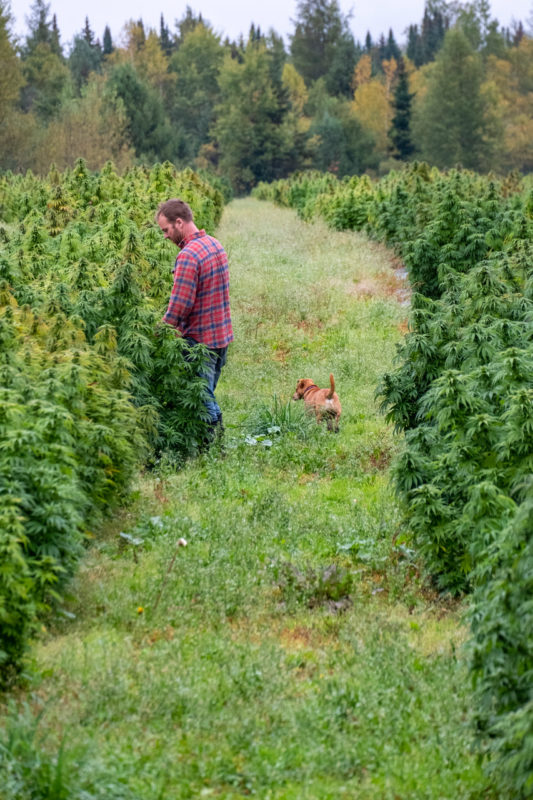 Pete and dog in hemp field in craftsbury vermont