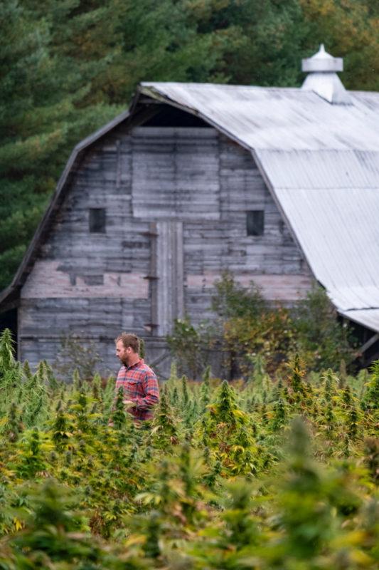 Pete walking through hemp field with Barn in background
