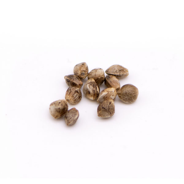 Feminized Hemp Seed (12 Pack) T1 x Cherry